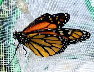 monarch in the butterfly garden