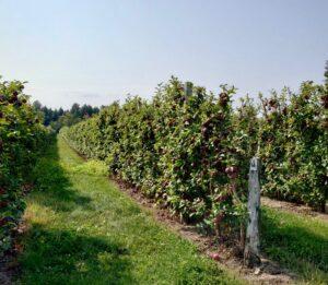 rows of espalier grown apples