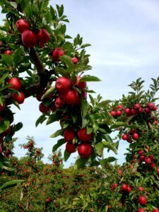 apples being grown with the espalier method