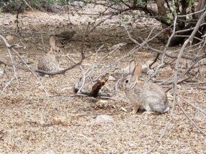 rabbits in the desert botanical gardens