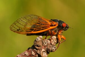 to show people what a periodic cicada looks like