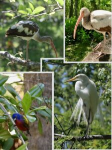 corkscrew-swamp-sanctuary-birds