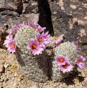 show people the pincushion cactusc