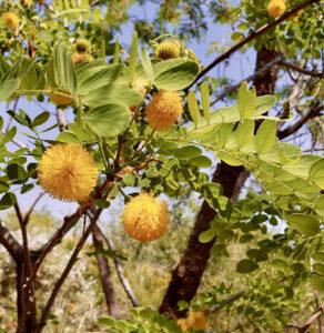 sweet acacia in bloom