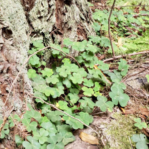 sorrel-in-muir-woods