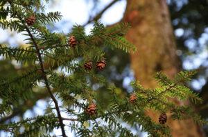 to-show-redwood-cones